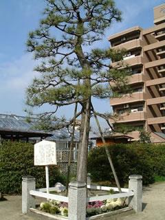 金輪神社のかなえの松