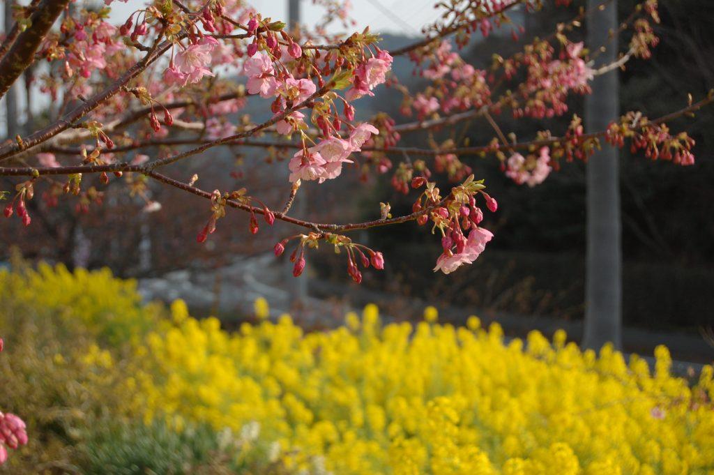 笠戸島の河津桜