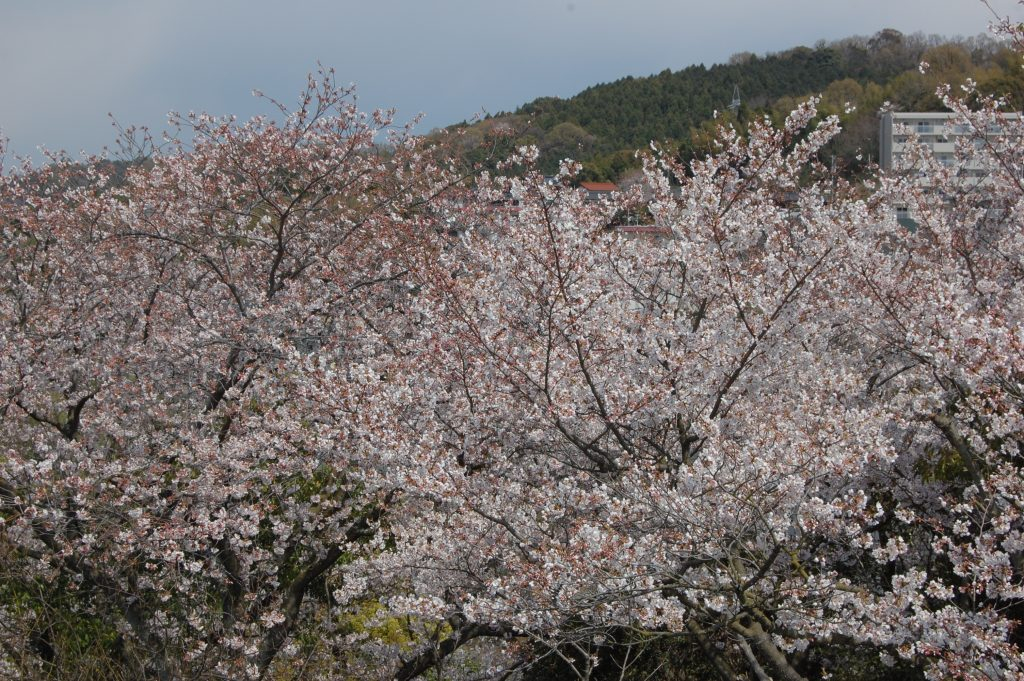 下松公園付近の桜