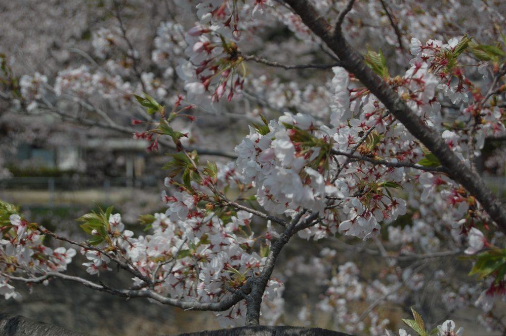 末武川流域の桜並木